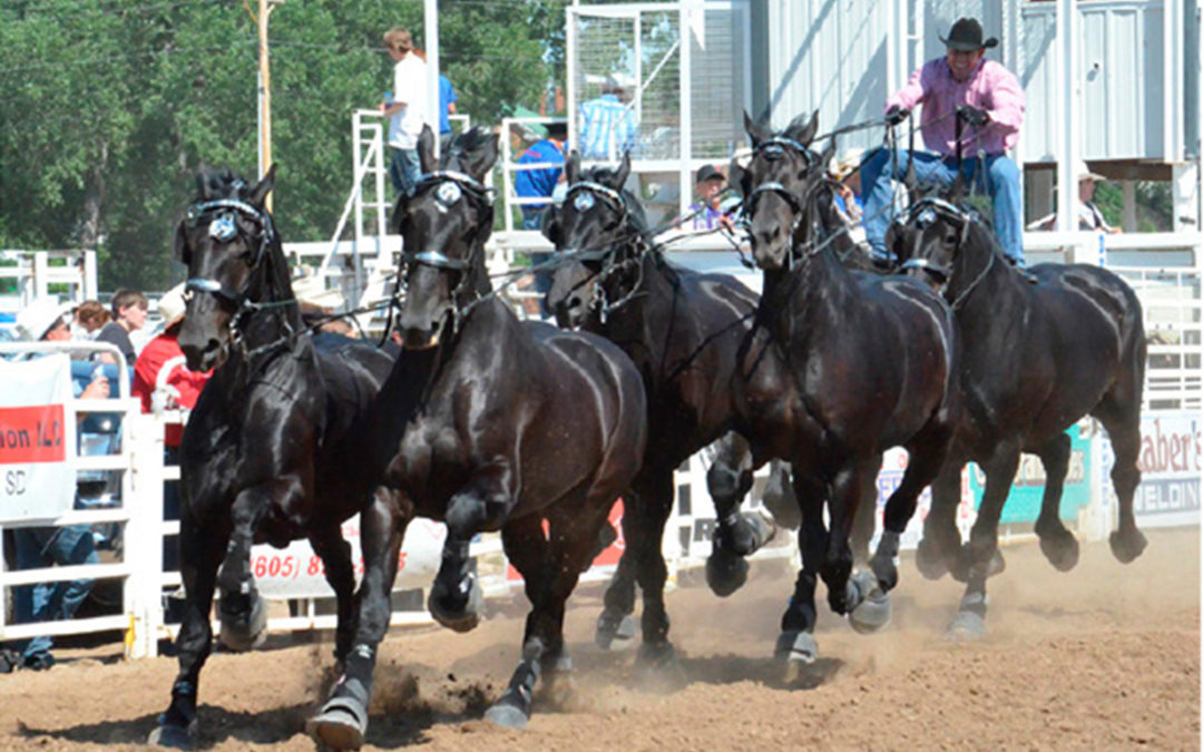 Percheron Thunder!